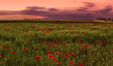 Flowers fields poppies HD wallpaper