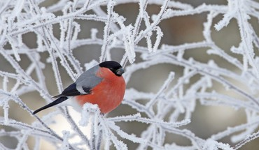 Beautiful bullfinch on icy tree HD wallpaper