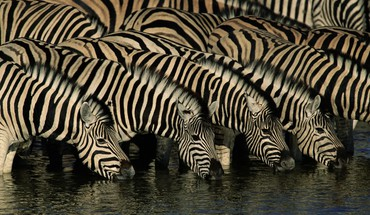 Wildlife zebras drinking HD wallpaper