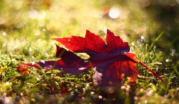 Red leaf HD wallpaper