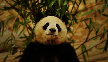 Bamboo panda bears HD wallpaper