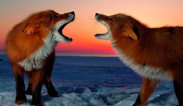 Animals foxes red snow HD wallpaper