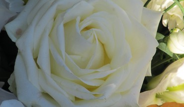 White rose coeur  HD wallpaper