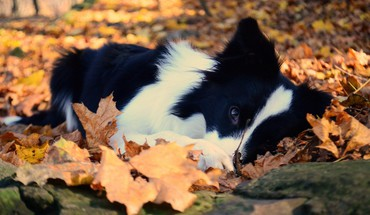 Dog in autumn leaves HD wallpaper
