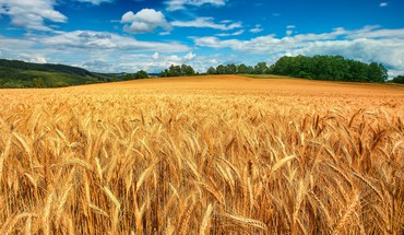 Golden field HD wallpaper