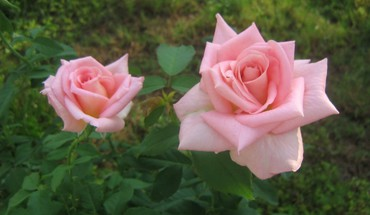 Two pink roses HD wallpaper
