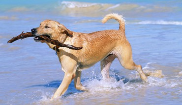 Beaches golden retriever HD wallpaper