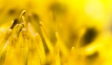 Flowers yellow bloom seeds shine HD wallpaper