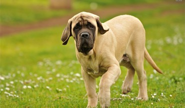 The english mastiff HD wallpaper