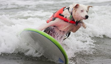 Dog surfing HD wallpaper