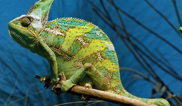 Žalioji chameleonas  HD wallpaper