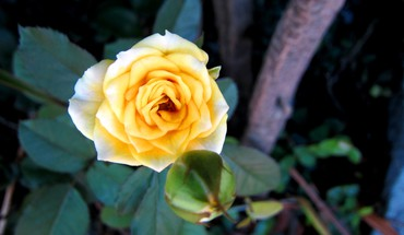 Pretty yellow rose HD wallpaper
