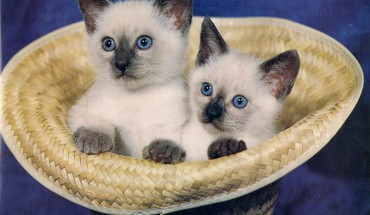 Siamese twin kittens HD wallpaper