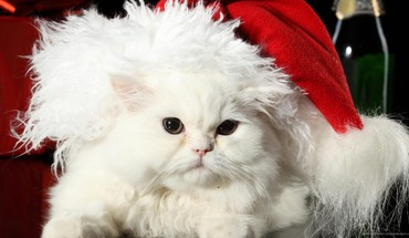 White santa cat HD wallpaper