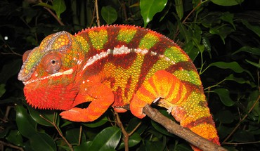 Animals chameleons reptile reptiles chameleon HD wallpaper