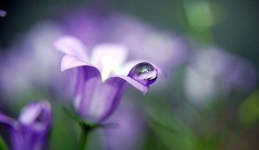 Flowers purple water drops HD wallpaper
