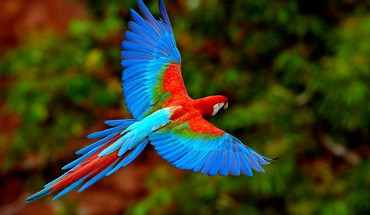 Scarlet macaws birds flying parrots HD wallpaper