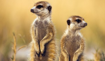 Animals meerkats savage african wild life HD wallpaper