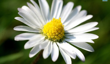 Closeup on the daisy HD wallpaper