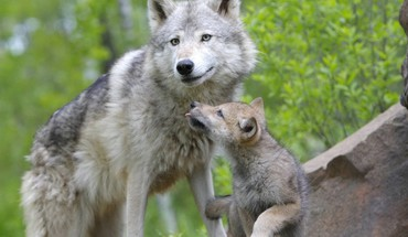 Animals baby wolves HD wallpaper