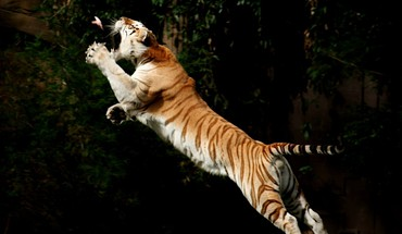 Animals birds jumping tigers HD wallpaper