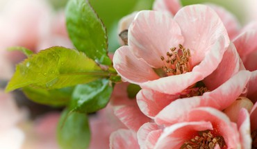 fleurs d'arbres fruitiers  HD wallpaper
