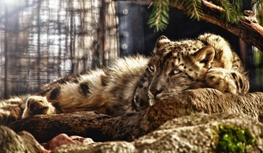 Animals photo manipulation snow leopards HD wallpaper