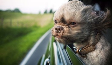 Animals dogs funny shihtzu wind HD wallpaper
