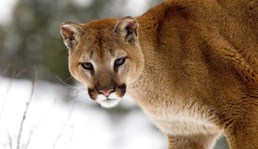 Montana Tiere Pumas winter  HD wallpaper