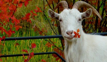 Animals autumn goats leaves HD wallpaper