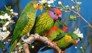 Birds multicolor parrots HD wallpaper
