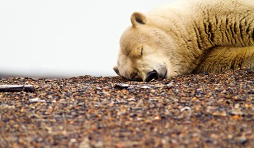 Animals sleeping bears polar HD wallpaper