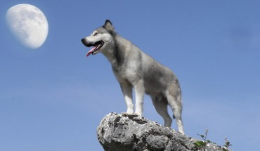 Lune animaux nature faune loups  HD wallpaper