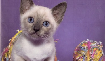 Siamese kitten HD wallpaper