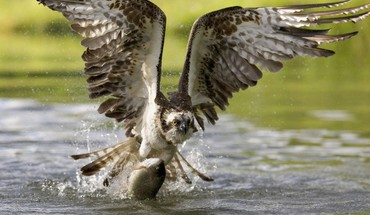 Finland fish osprey HD wallpaper