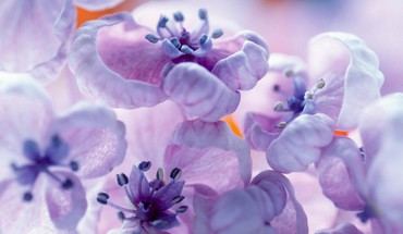 Blossoms flowers purple spring HD wallpaper
