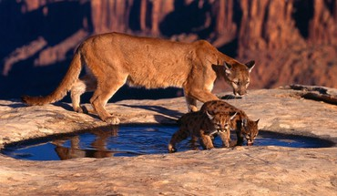 Animaux montagne lions puma  HD wallpaper