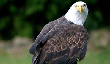 Eagle hd HD wallpaper
