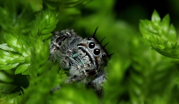 Nature leaves macro spiders jumping spider arachnids HD wallpaper
