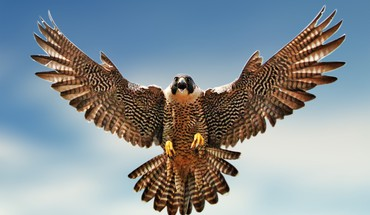 Birds falcon bird HD wallpaper