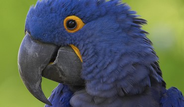 Birds animals parrots hyacinth macaw HD wallpaper