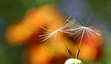 Dandelions depth of field flowers nature plants HD wallpaper