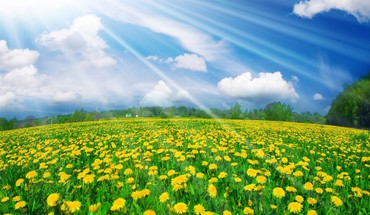 Dandelions fields landscapes nature yellow flowers HD wallpaper