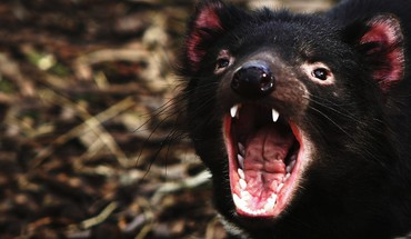 Tasmanian devil animals wolverines HD wallpaper
