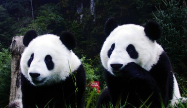 Animals nature panda bears HD wallpaper