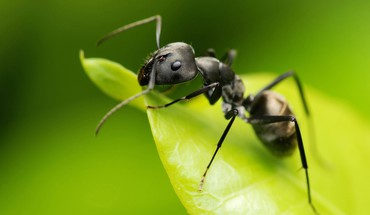 Ants macro nature HD wallpaper