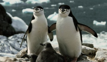 Chinstrap penguins baby birds HD wallpaper