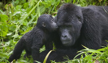 Parc national ouganda animaux bébés gorilles  HD wallpaper