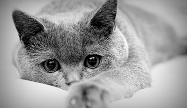 Animals cats grayscale monochrome HD wallpaper