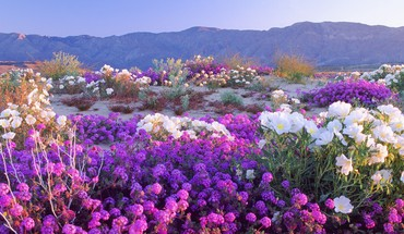 California deserts flowers nature HD wallpaper